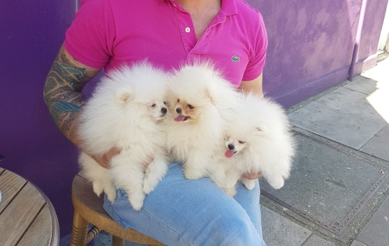 KC Pomerania puppies for sale : whatsapp us on +1(302)469-0386